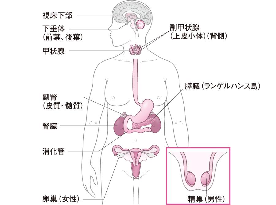 内分泌腺のイメージ