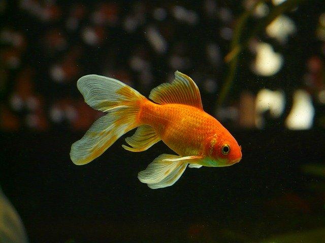 金魚のイメージ